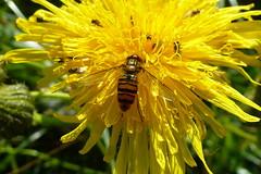Episyrphus balteatus - Gemeine Parkschwebfliege , NGIDn67033626 (naturgucker.de) Tags: episyrphusbalteatus naturguckerde cjrgengehnen ngidn67033626 nsgnordspitzeamrum