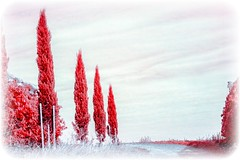 Zypressen (Peter Daum 69) Tags: trees red tree rot nature scenery natur infrared landschaft bume baum cypresses infrarot zypressen 650nm 680nm