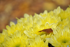 Fall ~ Najaar (Swaentje5) Tags: autumn brown flower holland fall netherlands cemetery yellow leaf herfst nederland blad geel bolchrysant hoofddorp bruin begraafplaats bloem chrysant haarlemmermeer najaar chrysantemum iepenhof