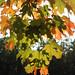 Herbstblätter (09)