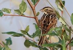 Savannah Sparrow (rivadock4) Tags: cambridge sunrise wildlife national sparrow savannah blackwater refuge savannahsparrow blackwaternationalwildliferefuge