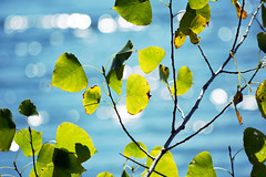 lakeside aspen leaves (heartinhawaii) Tags: blue autumn wild stilllife plant abstract green nature leaves colorado colorful aqua bokeh teal lakeside foliage grasses wildflowers aspen photoart naturephotography latesummer aspenleaves wildgrasses nikond3300