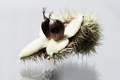 Chestnut (Claire Willans) Tags: autumn wild food macro reflection fall nature seasons natural seasonal nuts shell chestnut nut spikey protection prickly spikes autumnal casing foraging foraged