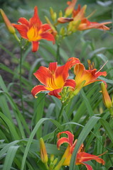 Red&Yellow daylily (T's PL) Tags: plant flower virginia nikon outdoor roanoke va roanokeva yabbadabbadoo virginiawesterncommunitycollege vwcc d7000 tamron18270 nikontamron nikond7000 thecommunityarboretum tamron18270mmf3563diiivcpzd thecommunityarboretumatvirginiawesterncommunitycollege