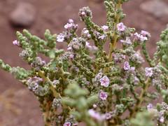 Flore dans la Vallée de l'Arc-en-Ciel (4) (Mhln) Tags: chile san chili couleurs pedro atacama terre arcenciel geologie 2015 vallee mineraux arcohielo