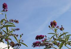 150912_Distelfalter (vertexten) Tags: september schmetterling schmetterlingsbaum distelfalter