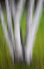 Bouquet of Birches (Rodger_Evans) Tags: park camera white abstract movement bark birch icm intentional intentionalcameramovement
