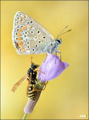 Tras de ti (- JAM -) Tags: naturaleza flower macro nature insect nikon flor explore jam mariposas d800 insecto macrofotografia explored lepidopteros juanadradas