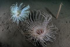 Knoydart-201508-LochHourn-CnapAnTSiar-6-Anemone-Firework-AndSeaPen-PachycerianthusMultiplacatus (Tony J Gilbert) Tags: scotland nikon marine underwater isleofskye diving knoydart doune mallaig d300 underwaterphotography soundofsleat smallisles knoydartpeninsula wwwdouneknoydartcouk