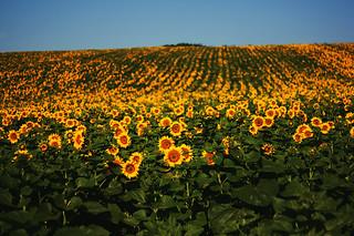Sunflower Hills