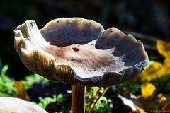Teller (ralf.kerkhoff) Tags: deutschland natur nrw pilze deu naturpark botanik hohemark reken