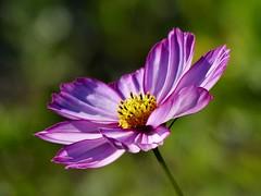 Waving goodbye to Summer (sunset1uk) Tags: england brighton wildflowers eastsussex cosmos prestonpark flowerwatcher