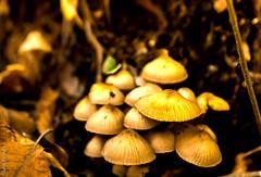DSC07426_7_8 (lelou66) Tags: champignon hdr hdrenfrancais