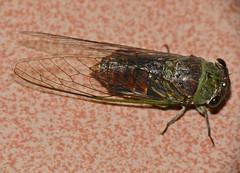Cicada (Id ?) (berniedup) Tags: cicada sarawak malaysia kuching santubong damaibeachresort