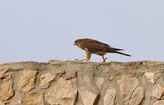 Walking (vic_206) Tags: bird pajaro madeira canoneos7d canon300f4liscanon14xii
