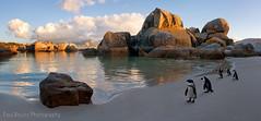 Boulders Beach Penguin Panorama (Panorama Paul) Tags: panorama southafrica penguins simonstown westerncape bouldersbeach penguincolony jackasspenguins nikkorlenses nikfilters nikond800 wwwpaulbruinscoza paulbruinsphotography