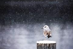 Winter silence (Chris Herzog) Tags: ifttt 500px winter snow bird gull animal cold freezing silence endure nature