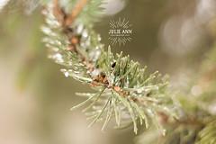 (Julie Ann Photos) Tags: julieannphotos ice tree snow nature canonrebelt5 breinigsville pennsylvania 2016 winter christmas