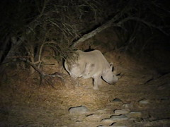 Black Rhino in Mountain Zebra National Park (benyeuda) Tags: dicerosbicornis rhino hookedlip rhinoceros mammal megafauna largeanimal wildlife safari nightsafari mammalwatching criticallyendangered endangered rareanimal rarewildlife rare mountainzebra mountainzebranationalpark nationalpark southafrica africa