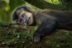 Capuchin monkey taking a rest ... explored (alicecahill) Tags: wild monkey ©alicecahill mammal brazil iguassufallsarea southamerica wildlife animal
