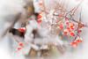 Coucou ! Hi, everybody ! (www.nathalie-chatelain-images.ch) Tags: nature oiseau bird merle blackbird arbre tree pommier nikon pommierdornement hiver winter neige snow