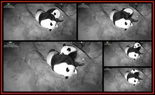 Mei Xiang nursing Bei Bei