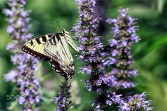 Hanging On (Justin S Reid) Tags: ifttt 500px yellow flowers beauty flower light summer beautiful natural plant butterfly green insect garden purple bug new jersey lavender arboretum willowwood dierjscreensaver