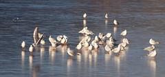 2016_12_0588 (petermit2) Tags: blackheadedgull gull gow ice clumberpark clumber sherwoodforest sherwood nottinghamshire nationaltrust nt