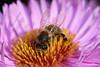 In the Flower (haberlea) Tags: garden michaelmasdaisy mygarden purple gleen macro flower insect bee middle centre petals