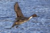 Northern Pintail Male (Paul Rioux) Tags: nature avian bird inflight northernpintail duck prioux