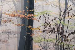 * (sedregh (off for some days)) Tags: nebel fog mist herbst autumn forest wald blätter laub leaves bunt eifel