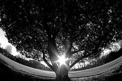 Tree of life (the pale side of insomnia) Tags: nature tree branches holmoak