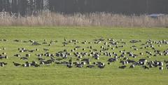 Our neighbours, many of them but not all (Alta alatis patent) Tags: kolganzen brandganzen grauweganzen backyard geese