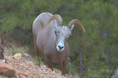 I'll Be Watching You (Forget Me Knott Photography) Tags: brianknott fmkphoto forgetmeknottphotography zion nationalpark utah desert cliff hill goat sheep bighorn bighornsheep horns ewe looking wildlife
