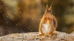 brightly splashed (Geert Weggen) Tags: red nature animal squirrel rodent mammal cute look closeup stand funny bright sun backlight ice winter snow christmas holiday love tender valentine day feeling beauty admire happy splashingwater geertweggen geert hardeko jämtland ragunda bispgården