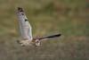 short-eared owl - velduil - Hibou des marais (fire111) Tags: hibou des marais velduil shortearedowl bird birding wild wildlife hunting bif predator uil jager
