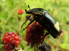 245 Yellow-belted Fruit Chafer (Magic Moments by Pippa) Tags: southafrica drakensberg wildlife nature nikon p900 insects macro closeup beatle fruit chafer