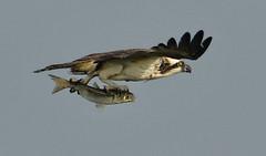 Flying Fish (Jeff Clow) Tags: 2017 january jeffclowphototours mothernature southpadreisland southtexas usa birding birds holiday nature outdoors outside travel vacation osprey flight mullet flyingfish