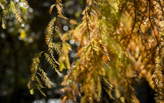 Sunshine (OrangeK7) Tags: leaves sunshine tree fall autumn nature baldcypress cypress 落雨松 武陵農場