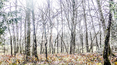 L1130786 (Bruno Meyer Photography) Tags: trees forest woods light winter snow nowhere lost photography nature wild leica leicaimages leicacamera leicadlux5 raw edit colors archives