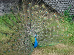 Impressive display (richie78) Tags: sweden stockholm skansen bird peacock feathers display sonyt7 nature