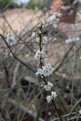 IMG_7857 (armadil) Tags: plum plumtree plumtrees flower flowers plumflowers