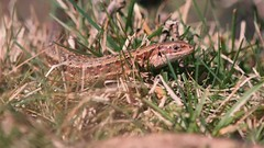 Viviparous lizard (Zootoca vivipara) (Ian Redding) Tags: viviparouslizard commonlizard lizard zootocavivipara viviparous gorse reptile basking dartmoor devon burntgorse british fauna european uk wildlife nature coldblooded lacertidae