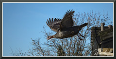 TurkeyFlying_9561 (bjarne.winkler) Tags: domesticated turkeys can't fly but wild turkey can off roof building folsom ca