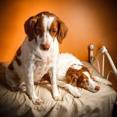 Waiting Out a Cold Day (rlgidbiz1) Tags: brittanyspaniel orangeandwhite dogs pups love winter strobe
