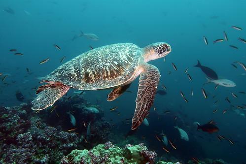 Chelonia_mydas_IMG_3299_Galapagos_GA-2017-DW03-05_Darwin-Darwin_Arc