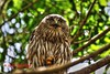 Barking Owl. Ninox connivens (paulberridge) Tags: barkingowl ninoxconnivens bird animal owl nature native wild wildlife cairns queensland australia australian capeyork forest rainforest cannonaustralia cannoncamera cannonphotography google googleimages nationalgeographic animalplanet pmwildlifeandnaturephotography outdoors macro close brown white yellow eyes