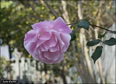 Rose at My-Garden-IZE-058 (Zachi Evenor) Tags: zachievenor israel mygarden garden gardening flower flowers 2017 ישראל גינתי גני גן גינה פרח פרחים פריחה גינון ורד ורדים שושנה שושנים rose roses rosa
