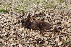 Today's Cat@2017-03-20 (masatsu) Tags: cat thebiggestgroupwithonlycats catspotting pentax mx1