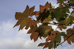 The Beginning of Fall (Beth Madigan) Tags: autumn trees orange color fall leaves maple whidbeyisland mapleleaf change pnw
